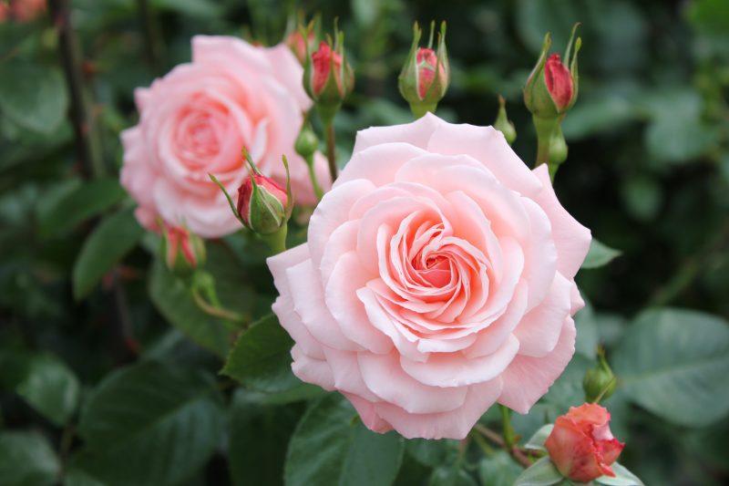 福山市の花が「ばら」になったワケ。